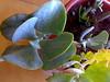 crassula arborescens (ilenuca) Tags: plant succulent crassula suculenta crassulaarborescens