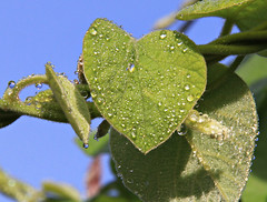 Heart with tears (:Linda:) Tags: germany town leaf village heart jena thuringia droplet climber herz wassertropfen tropfen kletterpflanze similarto cospeda resembling polebean stangenbohne