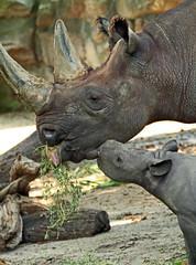 zwate neushoorn Akili geboren 6-8-2012 berlin zoo IMG_1937 (j.a.kok) Tags: rhino blackrhino neushoorn zwarteneushoorn puntlipneushoorn