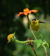 Are There Male Pole Dancers? (vtpeacenik) Tags: bird vermont august americangoldfinch