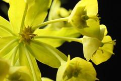 Vargtörel Euphorbia esula (Part of umbel) (Anders Delin) Tags: plants flower macro nature yellow photography sweden euphorbia sverige botany biology spurge växter botanik umbel törel esula umbelvargtörel vargtörel