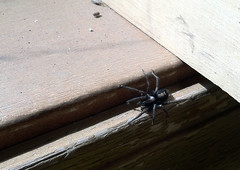 the parson (Mark.Swanson) Tags: spider arachnid eastern windowsill parsonspider herpyllusecclesiasticus