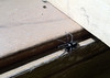 the parson (Mark.Swanson) Tags: spider arachnid eastern windowsill parsonspider herpyllusecclesiasticus