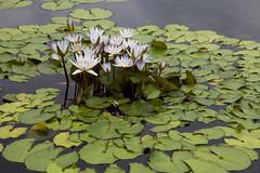 Water lilies (Lucie Maru) Tags: flowers summer plants water pond waterlilies bloom blooms lilypads plantsinwater plantsonwater comoparkminnesota