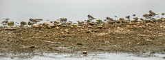 Ringed plover (Charadrius hiaticula) / Sandla (thorrisig) Tags: 17jl2016 17072016 bakkatjrn dr fuglar grtta sandla vafugl birds bird iceland icelandicbirds thorrisig thorfinnursigurgeirsson thorri orrisig thorfinnur orfinnur orri orfinnursigurgeirsson sigurgeirsson sigurgeirssonorfinnur dorres ringedplover charadriushiaticula vafuglar waterbird wadingbird shorebird grallatorialbird
