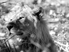 Etosha National Park (silviasalvi) Tags: africa bw nature animal closeup lion namibia leone savana