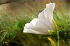 Fra l'erba (Laralucy) Tags: fiore natura erba bianco verde macro closeup elaborazione texture ngc