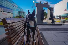 _DSC4016 (lezumbalaberenjena) Tags: quebec city canada 2016 bully boston terrier dog perro chien