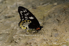 Ornithoptera chimaera ♀ puddling!!! (Hiro Takenouchi) Tags: papilionidae papua nature insect butterflies ornithoptera birdwing indonesia butterfly wildlife schmetterling