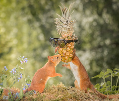 kisses (Geert Weggen) Tags: mammal rodent squirrel nature animal red flower perennial closeup cute plant funny happy summer ground spring bright light branch look love fruit food grapes pineapple sunglasses geert weggen hardeko