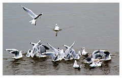 Frenzy i (Paul.Y-D) Tags: birds sea gulls terns river exe topsham