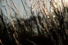 Silence is Golden (Birdiebirdbrain) Tags: straws naturephotography naturfoto nature backlight sunset fredericiaramparts fredericia nikond3300 nikon tamron tamron18270mm denmark