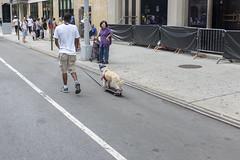 Dog and a skateboard... (wwward0) Tags: cc dog manhattan nyc outdoor sidewalk skateboard summerstreets walking wwward0 newyork unitedstates us