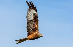 Red Kite (jefflack Wildlife&Nature) Tags: coth5 ngc npc