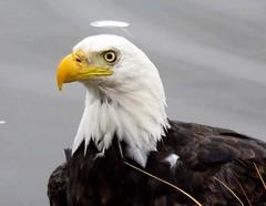 IMG_8773 (savillent) Tags: bald eagle birds marine beach wildlife travel water canon point shoot saville tuktoyaktuk nt canada north arctic september 2016