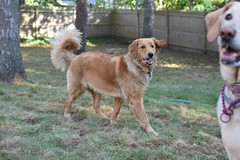 DSC_0097 (ghoulia) Tags: goldendoodle goldenretriever poodle labradoodle labrador rovercom dogvacay