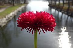Red Flower over Canal (crush777roxx) Tags: crush777roxx crush 20160413 2016 april 13th compact camera sony hx90v macro monday flower red canal bridge water ocean pretty sunlight reflection morning nature spring stockholm sweden sverige djurgrden djurgarden grdet gardet djurgrdskanalen macromonday swedennature stockholmsverige youknowakindwordnevergoesunheardbuttoooftengoesunsaid stockholmsweden compactcamera sonyhx90v