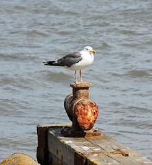 Lesser Black-backed Gull! (RiverCrouchWalker) Tags: gull heybridgebasin riverblackwater essex summer 2016 august rust