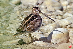 Plein cadre sur Bcassine et son ombre (mamnic47 - Over 6 millions views.Thks!) Tags: domainedemazres domainedesoiseauxdemazres arige oiseaux aot2016 img7855 gallinagogallinago commonsnipe bcassinedesmarais bec ombre