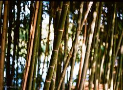 bamboo stand (mfauscette) Tags: fsc ishootfilm istillshootfilm kodak kodakportra800 nj pentax analog film filmisnotdead filmshooterscollective mediumformat pentax645n sculpturegarden