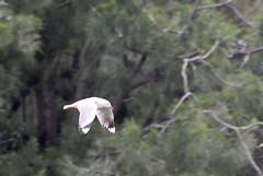 Silver Gull (iansand) Tags: homebushbay bird seagull silvergull utata:project=tw544