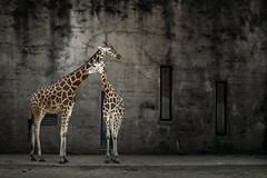 Wall (karol_sobotka) Tags: giraffe zoo cage animal animals nature bondage mammal freedom wall gaiazoo