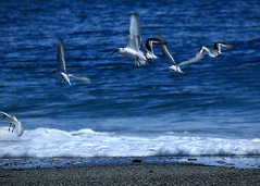 Where's everybody going (Patricia McAtee - Photos of Maine) Tags: sea seabirds ocean flying seacoast outdoors waves