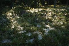 Heart shaped cluster of spider webs (Helena Normark) Tags: dewyspiderweb spiderweb morningdew dew heimdal srtrndelag norway norge sonyalpha7ii a7ii voigtlnder cv5015 nokton5015 nokton50mmf15