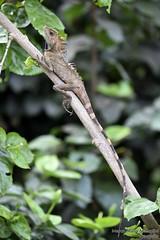 Chameleon, Cameron Highlands, Malaysia (marcomariamarcolini) Tags: marco maria marcolini malesia malaysia ngc marcomariamarcolini nikon nikkor reflex chameleon camaleonte animale nature natura