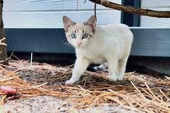 Baby cat (flavinovic) Tags: whitecat white babycat cutecat beautifuleyes blueeyes baby cute cat