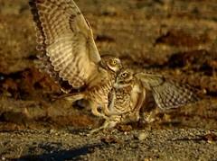Burrowing Owls--Athene  cunicularia (Polioptila caerulea) Tags: burrowingowl athenecunicularia athene radiostationrd solanocounty california