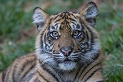 Cathy (ToddLahman) Tags: cathy joanne teddy sandiegozoosafaripark safaripark sumatrantiger babysumatrantiger tigers tiger tigertrail tigercub portrait canon7dmkii canon canon100400 closeup eyelock
