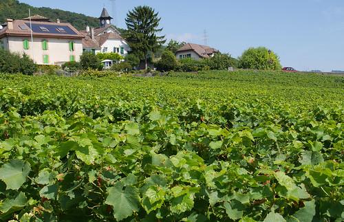vineyard above lake Geneva
