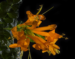 Glowing Cape Honeysuckle Blossoms (Bill Gracey) Tags: glowing glow capehoneysuckle tecomacapensis backlit backlighting luminous translucent color colorful orange roguegrid yn560iii filllight yongnuorf603n softbox nature naturalbeauty fleur flower flores macrolens macrophotography homestudio tabletopphotography