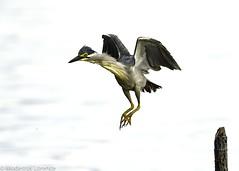 Take-off (Modestus Lorence) Tags: birds heron singapore canon 1dxmarkii 500mmf4isii