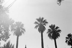 (Benz Doctolero) Tags: bw monochrome canon t50 50mm kodak trix 400 street california vegetation trees