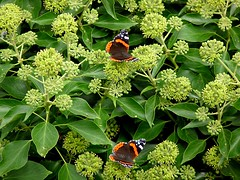 Red Admirals 266/366 (Hornbeam Arts) Tags: insect ivy butterfly