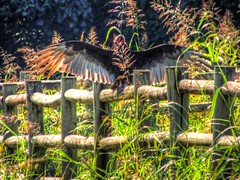 Fall Sun Basking (clarkcg photography) Tags: fall fence vulture wings feathers basking sun fencedfriday wood rail post sunlight