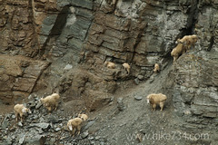 """Mountain goats at the Goat Lick • <a style=""""font-size:0.8em;"""" href=""""http://www.flickr.com/photos/63501323@N07/7498434368/"""" target=""""_blank"""">View on Flickr</a>"""