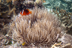 dusky anemonefish Amphiprion melanopus a by Paul and Jill, on Flickr