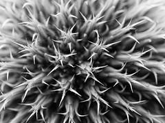 Wired (Peter Nijenhuis) Tags: macro closeup nederland thenetherlands groningen hoogezand spidersilk ef100mmf28macrousm 60d echinopssphaerocephalus greatglobethistle peternijenhuis
