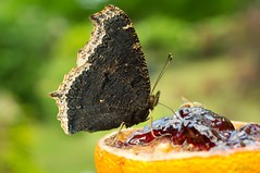 grape jelly is yummy,,,,,,,,, (bonnie5378) Tags: orange butterfly ngc grapejelly mourningcloak butterflydreams canadianfemalephotographers ilovemypics photosofqualitytosmileabout thebutterflytree magnificentmacros naturescarousel july2012 naturallywonderful ilovehorsesandallgodscreatures