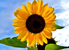 The Perfect Sun Flower (Liliane77) Tags: flower yellowflower sunflower floweryellow happyflower perfectflower perfectsunflower perfectyellowflower theperfectsunflower