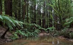 Redwoods2012_010 (TomT2010) Tags: california ranges redwoods ferns otway