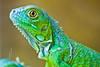 Green (⌯ ̟՝˻ п̵м̱ọ̯͡໐яྀα ˺ ໋, ৩՞) Tags: green animal canon gulf d qatar t3i حيوانات qtr قطر الدوحة حيوان 600d ameera q6r أميرة كانون amoora اميرة اموره امورة دي اميره qa6ar عزل أمورة أميره أموره ٦٠٠
