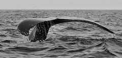Closer (Jerry Curtis) Tags: bw bay tail reserve whale humpback tours eco fluke ecological witless TGAM:photodesk=travelwildlife2012