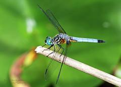 Blue Dasher (Emery O) Tags: blue macro wisconsin canon dragonfly 7d dasher odonata 180mm bluedasher kewauneecounty 580exii