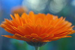 Orange Petals... (Lady Haddon) Tags: orange orangeflower orangepetals