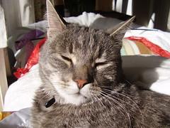 Charlie... (Matilda&Charlie&Josie ~ MCJ) Tags: male cat charlie mummysboy sooky 65kg greybluecreamtabby catcherofrats