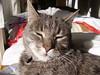 Charlie... (~ MCJ) Tags: male cat charlie mummysboy sooky 65kg greybluecreamtabby catcherofrats